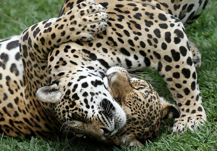 Seeing spots before your eyes?Don't be concerned, it's just the Jardim Zoo's onca pintada