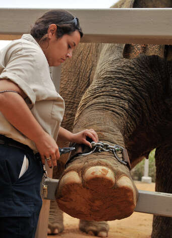 Nydia Gray of the San Antonio Zoo affixes a GPS device to Boo the elephant recently. the device assess animal well-being while in captivity. Photo: Robin Jerstad, For The Express-News