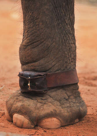 Lucky, an elephant at the San Antonio Zoo, has a GPS device affixed to his left ankle. Photo: Robin Jerstad, For The Express-News
