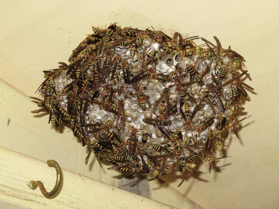 There were no paper wasp nests on Mims' office porch last fall. Now there are five. Photo: Forrest M. Mims III, For The Express-News