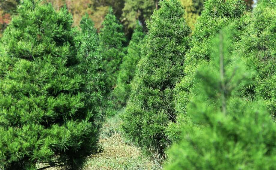 Christmas trees will be available at a number of lots and tree farms on Friday.  Enterprise file photo Photo: TAMMY MCKINLEY