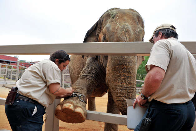 October 16, 2012 -- Nydia Gray, left, and Michael Huff work with San Antonio zoo elephant Boo to affix a GPS device that will assess animal well-being while in captivity. Photo: Robin Jerstad, For The Express-News / San Antonio Express-News