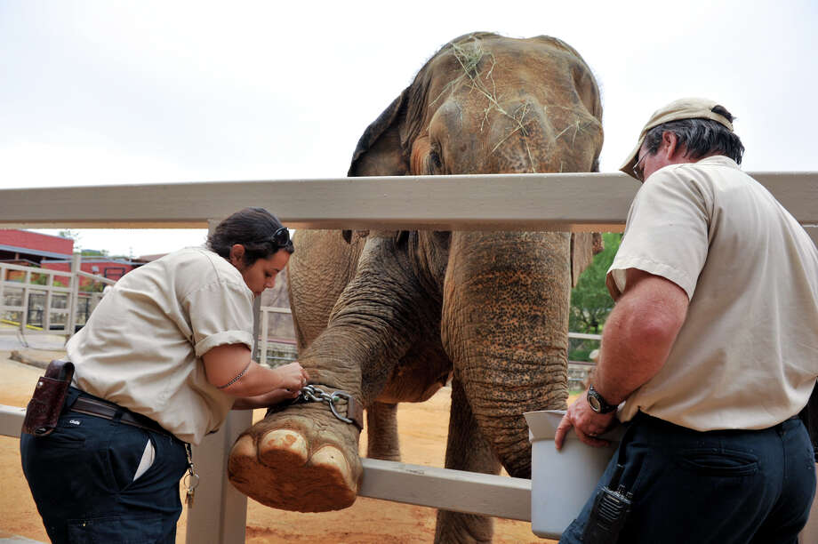 Nydia Gray, left, and Michael Huff work with San Antonio zoo elephant Boo to affix a GPS device that will assess animal well-being while in captivity on Oct. 16, 2012. Photo: Robin Jerstad, For The Express-News / San Antonio Express-News