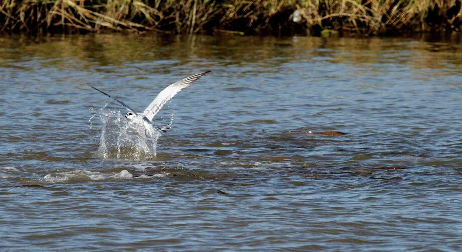 A tern tries to pluck an easy meal from the shrimp, crabs and small fish scattered by a school of redfish foraging in the shallows of a back-back flat in West Matagorda Bay. Hovering gulls and terns often can point anglers to the location of  these shallow-water packs of reds. Houston Chronicle photo by Shannon Tompkins Photo: Picasa, Shannon Tompkins/Chronicle