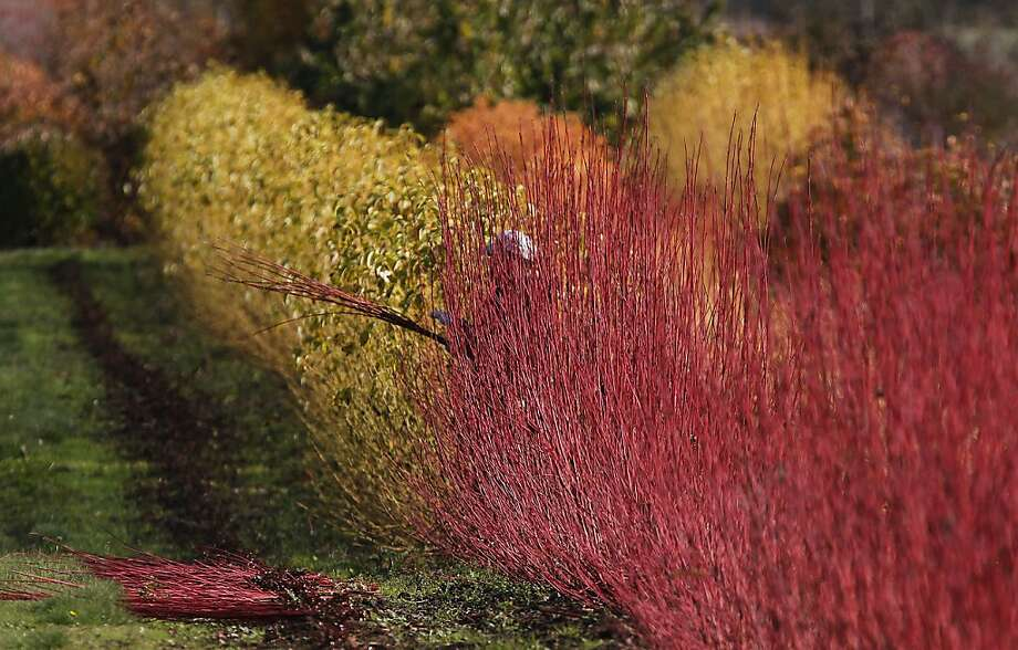 A worker removes colorful branches from plants at the U-Pick in Eugene, Ore. Friday Nov. 16, 2012. Photo: Kevin Clark, Associated Press