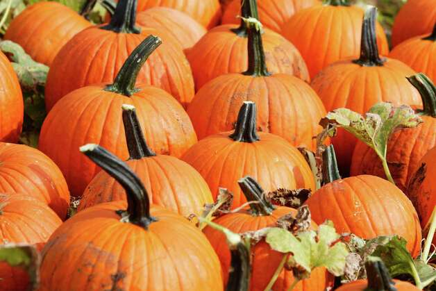 Fresh harvested pumpkins on Tranqulity Farms in Allamuchy.  Pumkins prefer a dry hot summer, which is what they received, so it was a bumper crop this year. 9/27/2012 Photo Jerry McCrea The Star-Ledger Sent DIRECT TO SELECTS Thursday, September 27, 2012 16:20:45 4896 3264 Photo: JERRY MCCREA / The Star Ledger