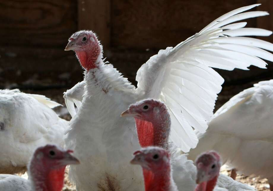 254 million: The number of turkeys expected to be raised in the United States in 2012. Minnesota was tops in turkey production with 46 million. (Getty Images)