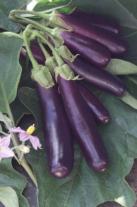 2008 AAS Vegetable Award Winner is the Eggplant F1 'Hansel' -- a miniature eggplant with finger-sized clusters of fruit; 55 days from transplanting, 3-inch fruit clusters; good for container gardens; bred by Seminis Vegetable Seeds, Inc. Camera:   DCS660C Serial #: K660C-00594 Width:    2008 Height:   3040 Date:  5/18/05 Time:   6:52:56 DCS6XX Image FW Ver:   3.2.3 TIFF Image Look:   Product Sharpening Requested: No Counter:    [21042] Shutter:  1/20 Aperture:  f9.0 ISO Speed:  80 Max Aperture:  f5.6 Min Aperture:  f32 Focal Length:  80 Exposure Mode:  Manual (M) Meter Mode:  Color Matrix Drive Mode:  Single Focus Mode:  Manual (AF-M) Focus Point:  Top Flash Mode:  Normal Sync Compensation:   0.0 Flash Compensation:   0.0 Self Timer Time:  5s White balance: Auto Time: 06:52:56.595  Ran on: 09-01-2007  Ran on: 09-01-2007 Finger-size eggplants, which grow in clusters, are ready for harvest at 3 inches but won't become bitter if left to grow longer.--- Sent 04/30/12 17:24:24 as check06 with caption: