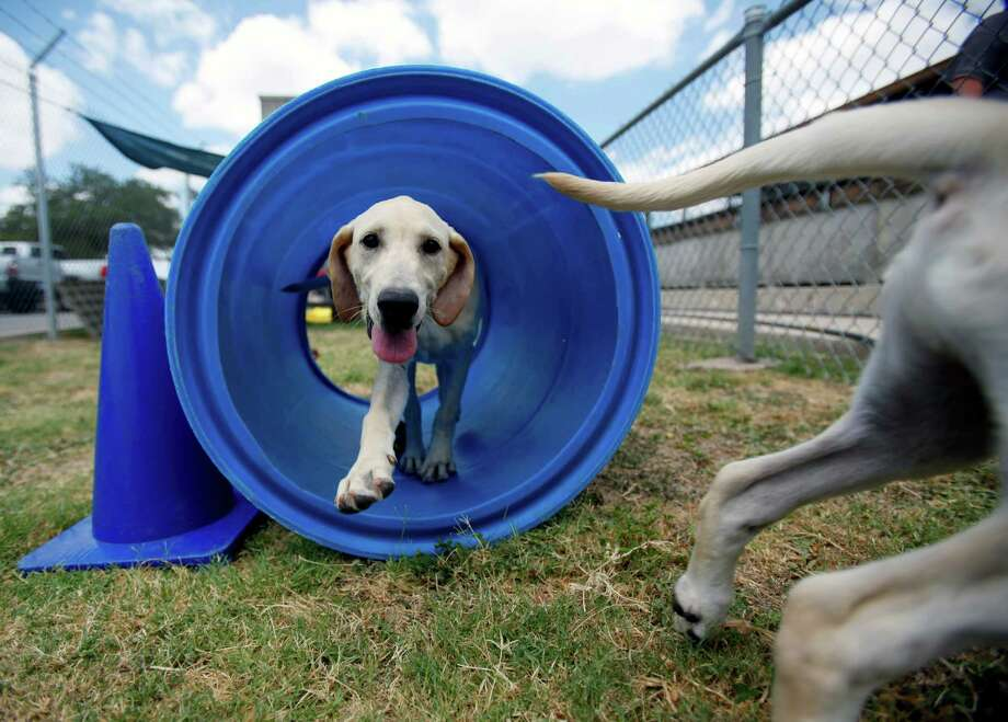 Two 16-week-old Labrador puppies play Tuesday, July 12, 2011 at the TSA Puppy Program facilities at Lackland Air Force Base. Photo: WILLIAM LUTHER, SAN ANTONIO EXPRESS-NEWS / 2011 SAN ANTONIO EXPRESS-NEWS