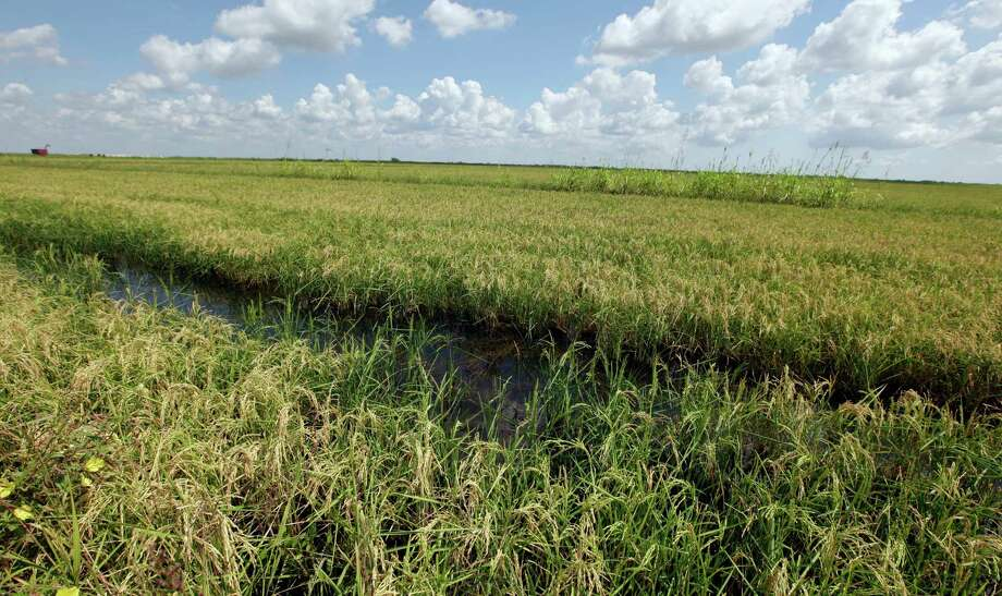 A rice field owned by the Corporon's is shown Tuesday, Sept. 20, 2011, in Palacios, Texas. Victor Corporon and his wife Barbara depend on water from the Colorado River to grow rice, a staple of their farm near the Texas coast. But as the Lower Colorado River Authority contemplates a drought measure that would cut off water to farmers, the Corporons and hundreds of other South Texas farmers are trying to figure out how they'll keep their farms going through the most severe one-year drought in Texas history. Officials are considering a proposal that could cut off water to about 250 farmers, mostly rice, in Matagorda, Wharton and Colorado counties, the biggest rice-producing counties in Texas. The proposal, which could get a vote Wednesday, would only be implemented if water levels fall below a certain level in lakes Buchanan and Travis on Jan. 1.  (AP Photo/David J. Phillip) Photo: David J. Phillip, Associated Press / Copyright: AP