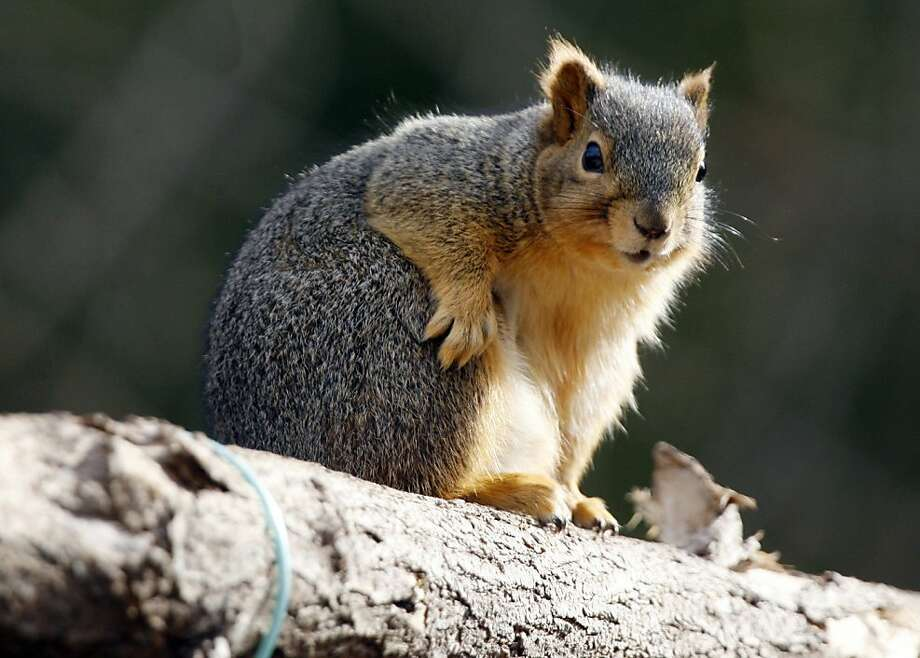 More nuts, please: Squirrels need to bulk up for winter, of course, but this one has winterized so much, branches are snapping in Hutchinson, Kan. Photo: Lindsey Bauman, Associated Press