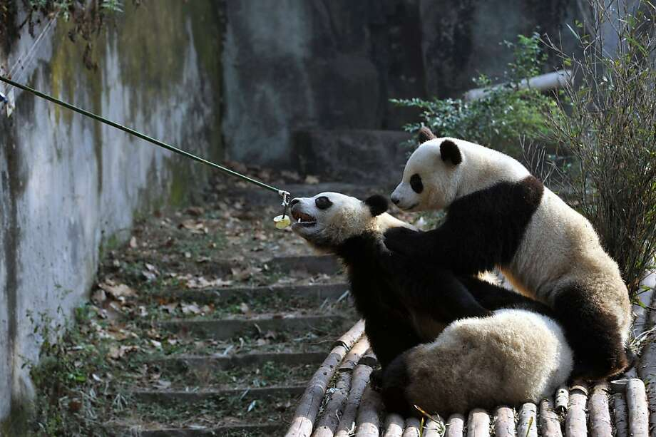 Panda fishing season opens in China:We hear they're biting on bamboo jigs and apple wedges at Chengdu, Sichuan province. Catch and release only! Photo: Stringer, AFP/Getty Images
