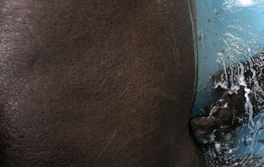 My mother, the planet:Only five hours old, a tiny hippopotamus baby nurses at the side of its hulking mother, Julka, at the Belgrade Zoo. Photo: Darko Vojinovic, Associated Press