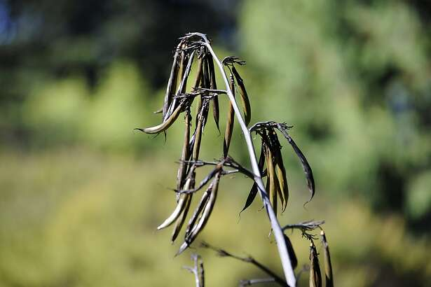The seed pods of the New Zealand Flax plant are seen in the San Francisco Botanical Garden in Golden Gate Park, Tuesday October 2nd, 2012.