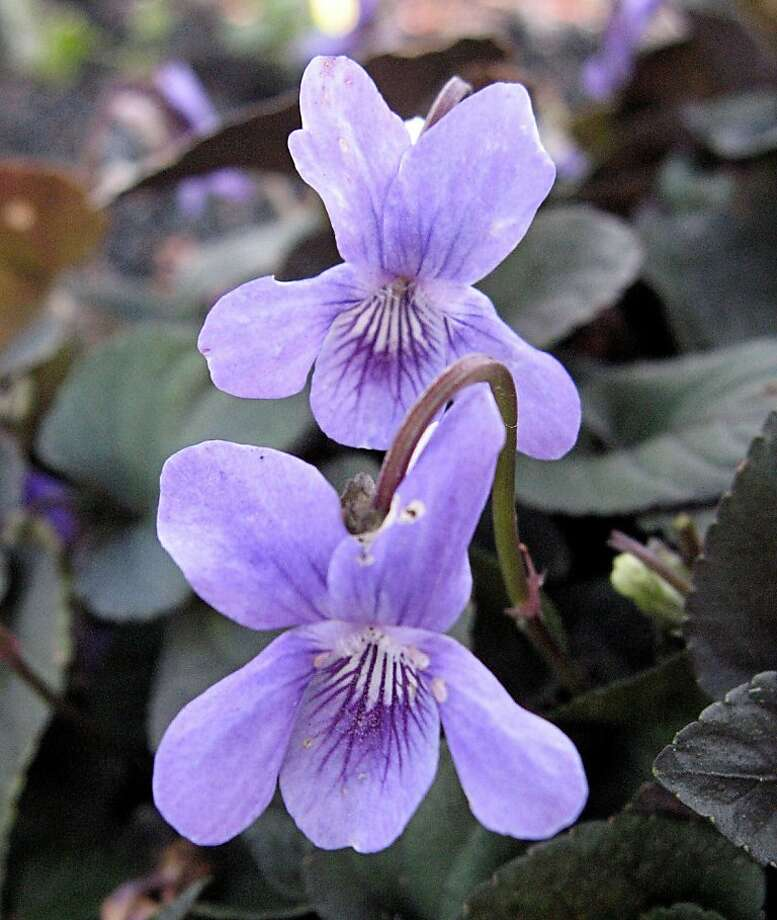 Viola labradorica has inch-long simple purple flowers with white throats. Photo: Annie's Annuals And Perennials