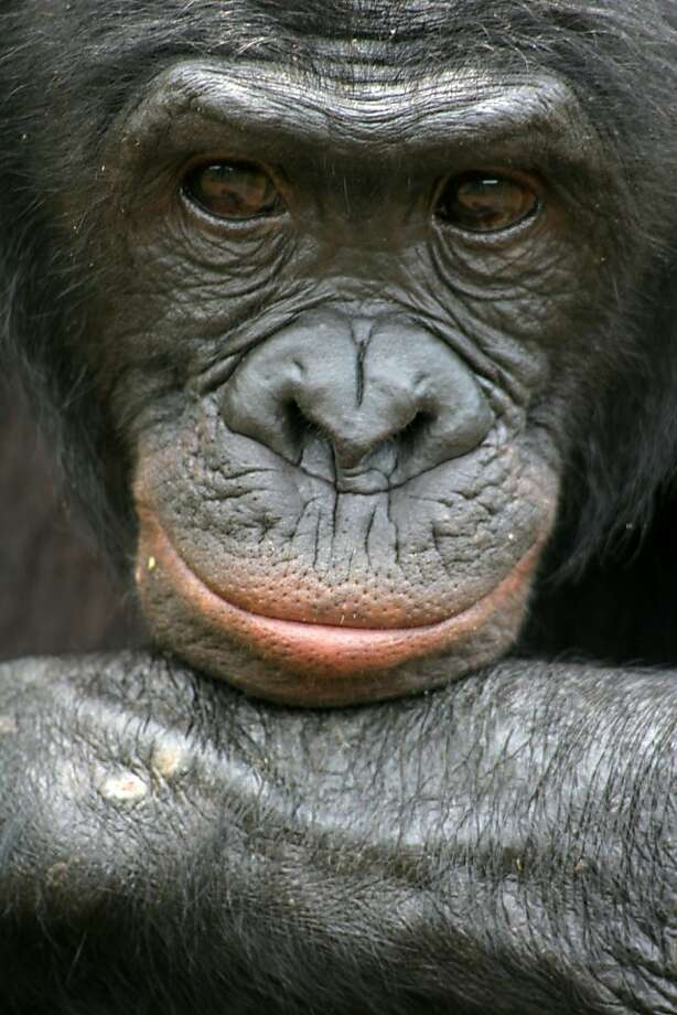 This undated handout photo provided by Friends of Bonobos shows Mikeno in the Congo. Behold the bonobo, our ape cousin that's kinder and gentler than the chimp or, well, us. Now scientists have mapped the bonobo DNA, and some researchers say that may eventually reveal secrets about how the darker side of our nature evolved. Scientists have found that we are as close genetically to the peaceful but little known bonobo as we are to the more violent and better understood chimpanzee. It's as if they are sisters and we are cousins, related to them both equally, sharing some traits with just bonobos and other characteristics with just chimps. (AP Photo/Vanessa Woods, Duke University) Photo: Vanessa Woods, Associated Press