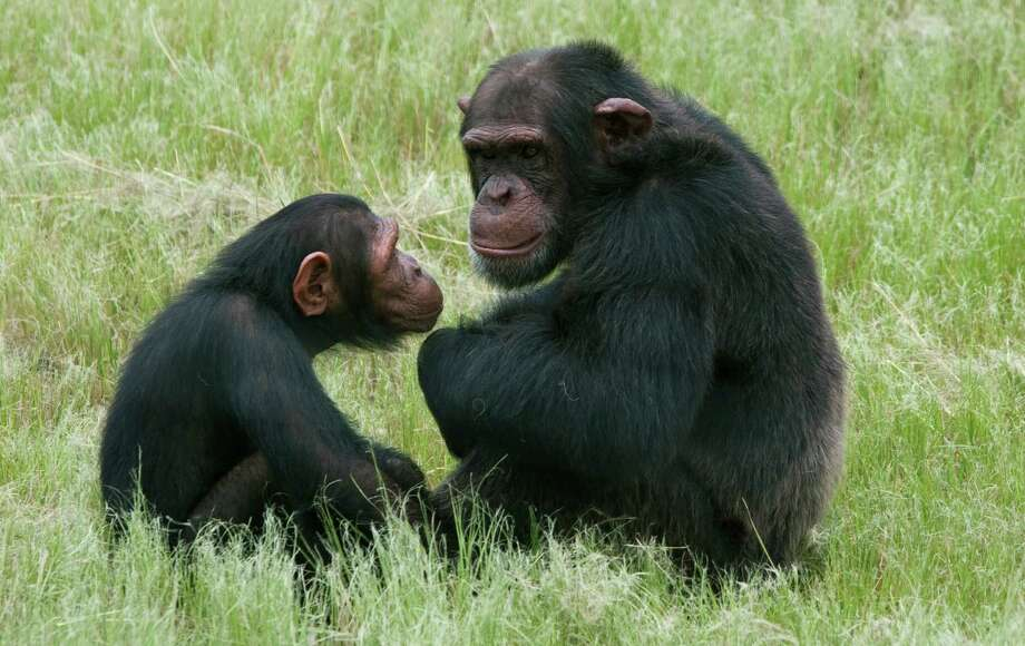 One imagines the little chimp is consoling his older buddy who's down in the dumps as he realizes that he never going to get to drive a red Ferrari. Photo: Erin Conway-Smith, STR / The Associated Press2012