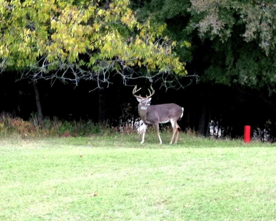 During the rut, a male deer can attempt to intimidage golfers at Landa Park Golf Course in New Braunfels.