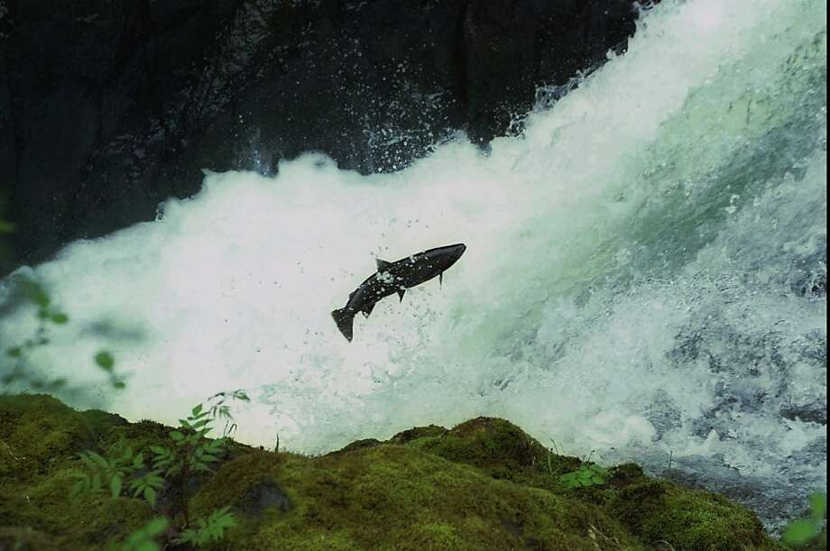 FILE--A salmon leaps a waterfall on the north fork of the Samonberry River in Oregon's Coast Range in northwest Oregon in this file photo. The Environmental Protection Agency is working with the Army Corps of Engineers to protect salmon from too-warm dam reservoir water along the Columbia and Snake rivers. (AP Photo/The Oregonian, Doug Beghtel) Photo: Doug Beghtel, Associated Press