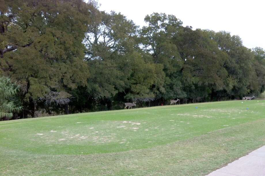 Deer enjoy the sheltering branches of the trees lining the Comal River banks alongside No. 7 at Landa Park Golf Course in New Braunfels.