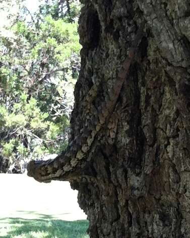 The wildlife at The Hawk at Rebecca Creek is not limited to deer, but also includes animals such as this Texas spiny lizard hanging out near a green. Photo: San Antonio Express-News