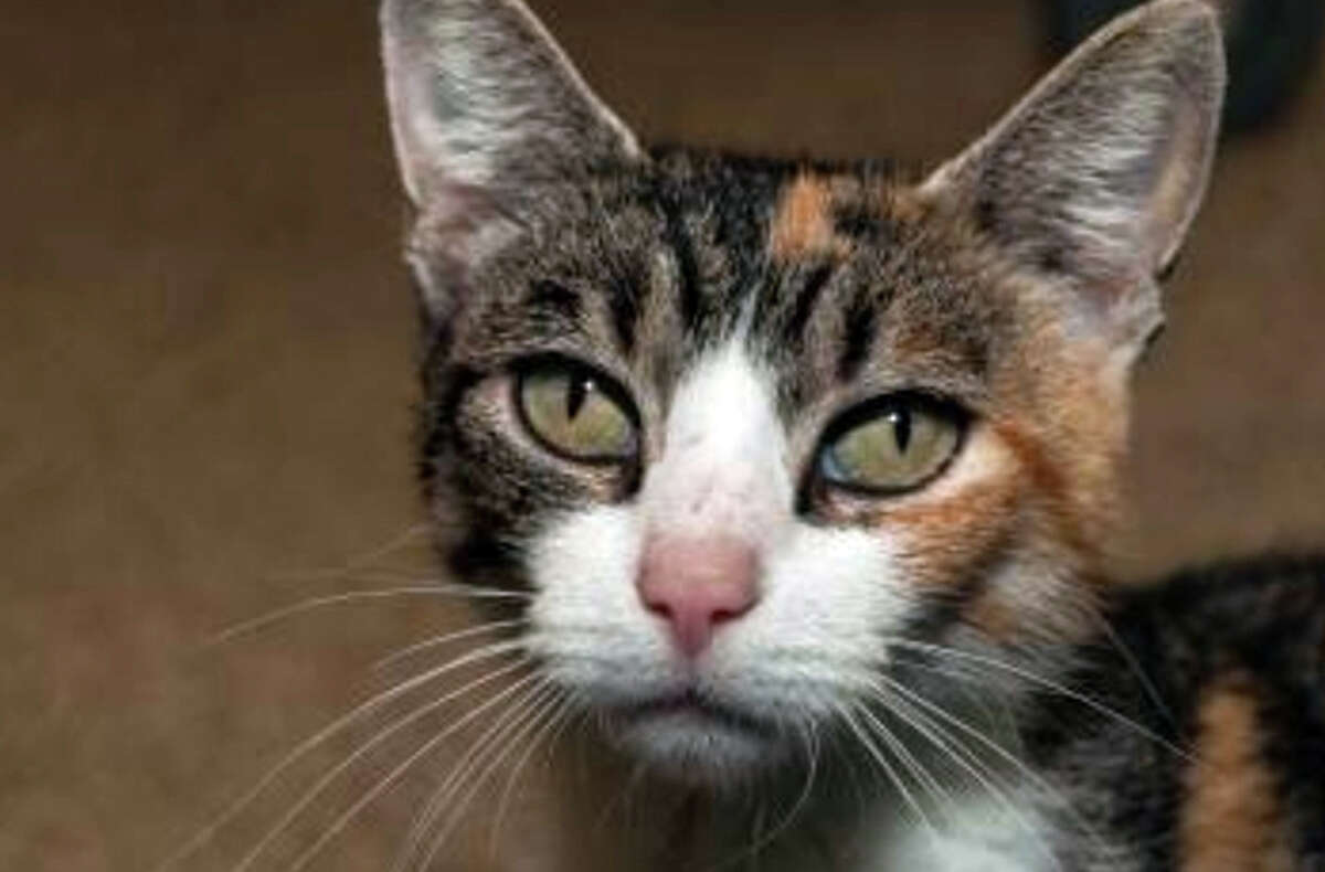 We're pretty sure Alice, a 2-year-old domestic shorthair, would be the winner of a state-wide cutest nose contest.