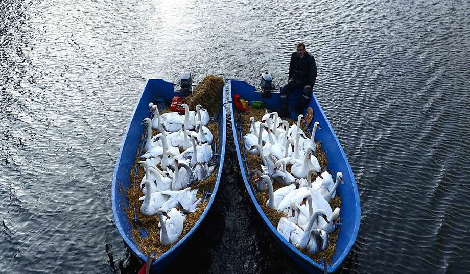 Swans look out of boats as they are transported to the wintering grounds at the Alster river  Hamburg, northern Germany, Tuesday Nov. 20, 2012. Photo: David Hecker, Associated Press
