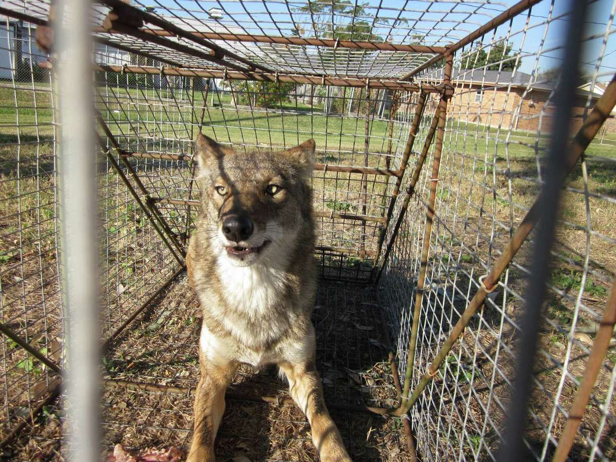 Galveston Animal Control on Wednesday trapped and euthanized a coyote thought responsible for killing multiple pets on the island in recent weeks.