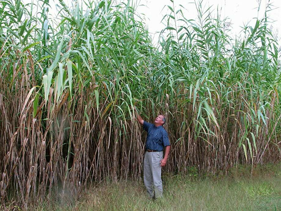 Arundo donax dwarfs Sam Brake, the farming director for the Biofuels Center for North Carolina, which is studying the nonnative species as a potential biofuel. Photo: Allen Breed, Associated Press