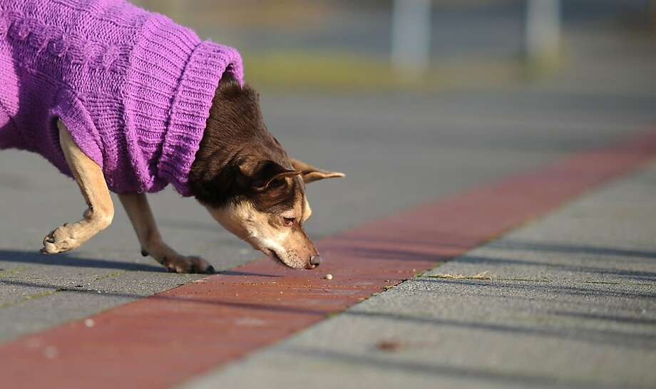 The five-second rule does not apply to dogs:Not even fancy sweater-wearing dogs in Hanover, Germany. Photo: Julian Stratenschulte, AFP/Getty Images