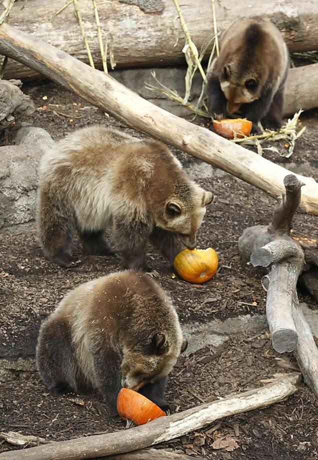 Cleveland browns: Grizzlies at Cleveland MetroParks Zoo dig into their Thanksgiving dessert - sugarless, crustless pumpkin pie. Photo: Tony Dejak, Associated Press