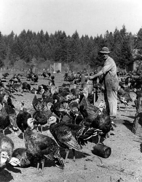 A lone farmer stands out among a crowd of turkeys, circa 1930.
