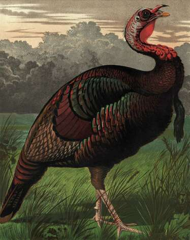"Turkeys can be positively fetching, as shown in this depiction, circa 1750. Benjamin Franklin famously disliked the choice of the eagle as our national bird, writing to his daughter that the eagle ""is a bird of bad moral character. He does not get his Living honestly."" Noting that the eagle on one seal looked more like a turkey to him, Franklin wrote: ""(T)he Turkey is in comparison a much more respectable bird, and withal a true original native of America . . . He is besides, though a little vain & silly, a bird of courage, and would not hesitate to attack a grenadier of the British Guards who should presume to invade his farm yard with a red coat on."" Photo: Hulton Archive, Getty Images / Hulton Archive"