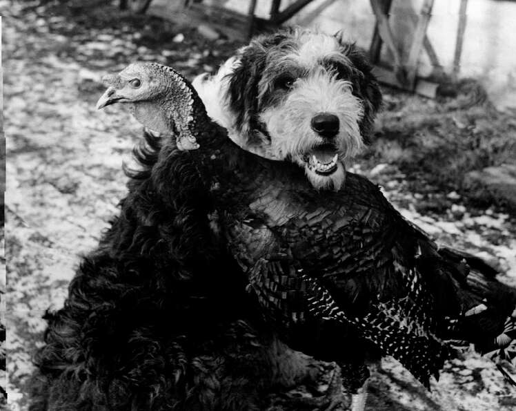 A turkey and a dog hang out together on Dec. 12, 1950.