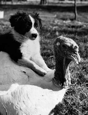 A puppy sits on his turkey friend's back on Oct. 25, 1952. Photo: Reg Speller, Getty Images / Hulton Archive