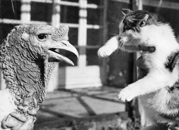 Suzanne the kitten sizes up a large white turkey on Dec. 12, 1952. Photo: Reg Speller, Getty Images / Hulton Archive