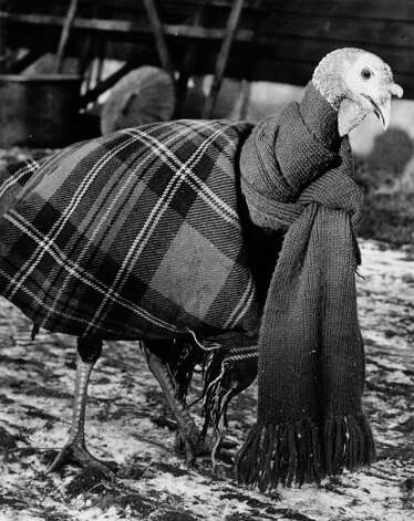 A turkey is wrapped up in a blanket and scarf to keep it warm on Dec. 7, 1950. Photo: Reg Speller, Getty Images / Hulton Archive