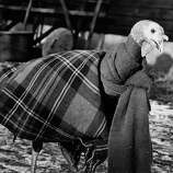 A turkey is wrapped up in a blanket and scarf to keep it warm on Dec. 7, 1950.
