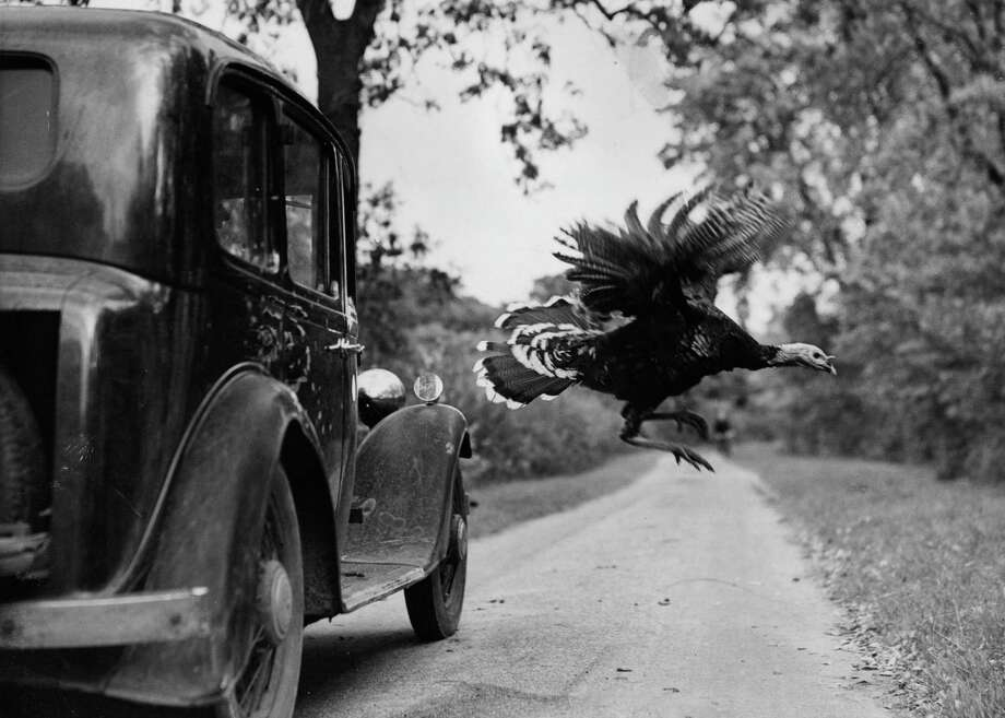 A turkey flies across a country lane near Braintree, Essex, England on Oct. 7, 1943. Photo: Reg Speller, Getty Images / Hulton Archive