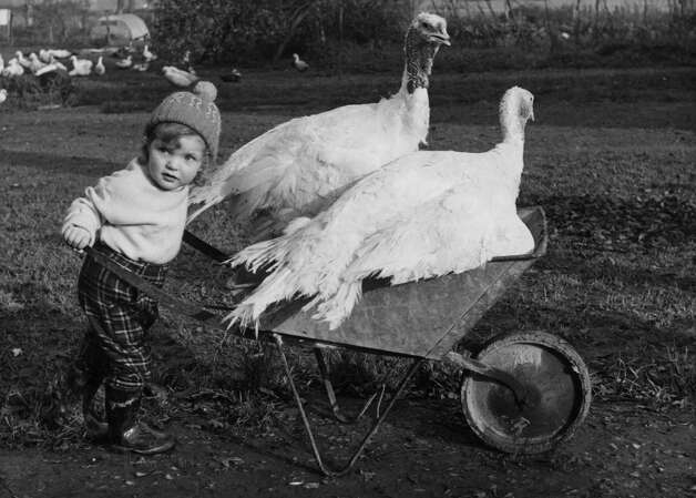 Susan White, 3, pushes two turkeys in a wheelbarrow on Dec. 6, 1962 on a turkey farm in Norwood Hill, Surrey, England. Photo: Reg Speller, Getty Images / Hulton Archive