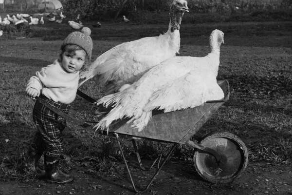 6th December 1962:  3 year old Susan White, who lives on a turkey farm in Norwood Hill, Surrey, pushes two turkeys in a wheelbarrow.