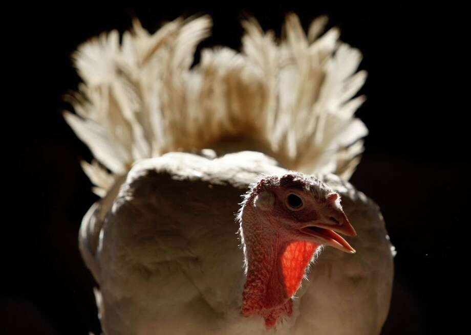 And here's a turkey at Sonoma's Willie Bird Turkey Farm Nov. 19, 2007. Photo: Justin Sullivan, Getty Images / 2007 Getty Images
