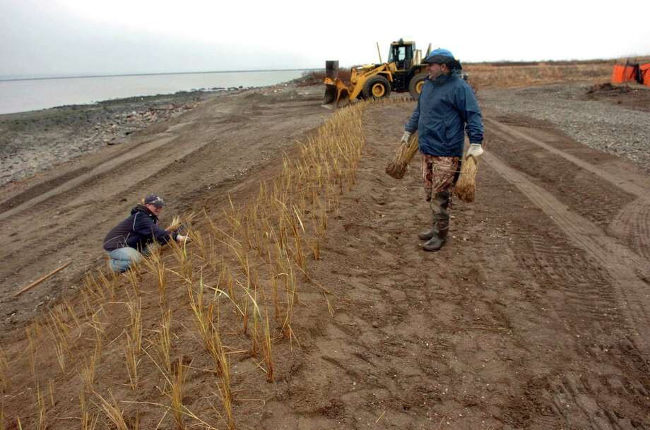 Workers plant beach grass as part of a beach conservation project at Stratford Point in Stratford, Conn. last December. The grass helped protect the dunes during storm Sandy last month. Photo: Christian Abraham / Connecticut Post