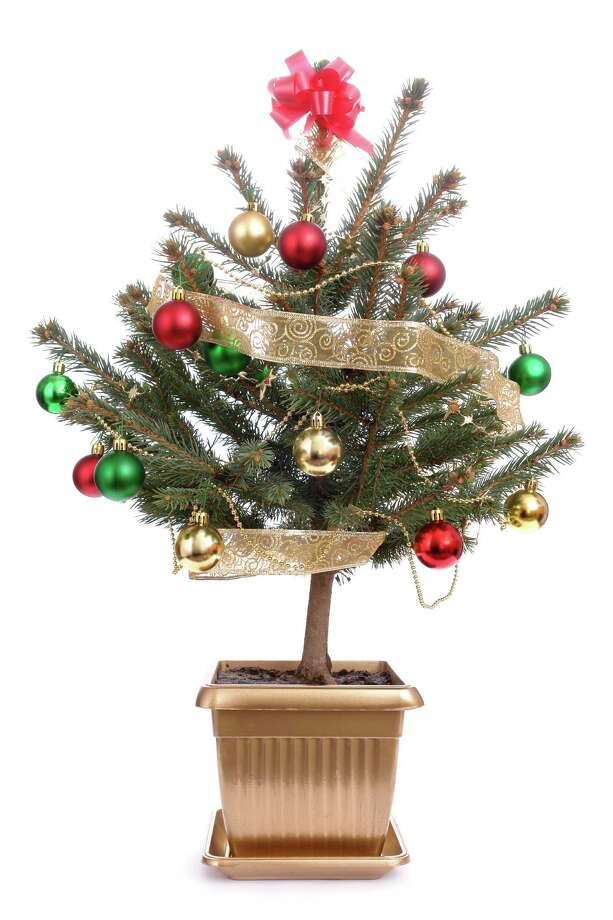 Living Christmas trees are good for the planet. (Fotolia.com) / Roman Milert - Fotolia