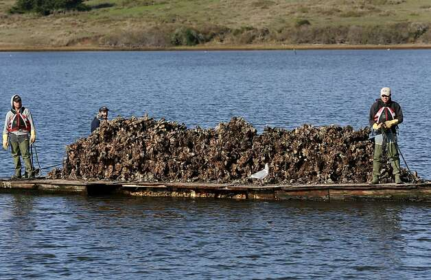 Oysters harvested from waters that are part of the Point Reyes National Seashore are brought in by boat. Photo: Brant Ward, The Chronicle