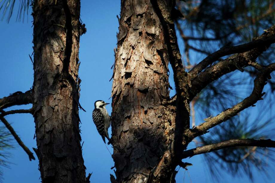 An endangered Red-cockaded woodpecker clings to a tree at the 5,650 acres of Cook's Branch Conservancy in Montgomery County north of Houston, Wednesday, Nov. 14, 2012, in Montgomery.  Operated as a program of the Cynthia and George Mitchell Foundation, Cook's Branch Conservancy offers a rare glimpse into what nearly a century of regeneration looks like in the Pineywoods region of East Texas. Photo: Michael Paulsen, Houston Chronicle / © 2012 Houston Chronicle