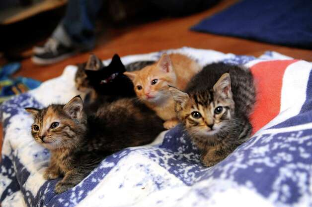 The five kittens that were rescued during the aftermath of Superstorm Sandy in Port Chester, N.Y., are being fostered at the Stamford home of Allyson Halm, president of Greenwich-based Adopt-A-Dog Thursday, Nov. 15, 2012. Photo: Helen Neafsey / Greenwich Time