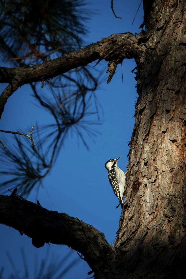 An endangered Red-cockaded woodpecker clings to a tree at the 5,650 acres of Cook's Branch Conservancy in Montgomery County north of Houston, Wednesday, Nov. 14, 2012, in Montgomery. Photo: Michael Paulsen, Houston Chronicle / © 2012 Houston Chronicle