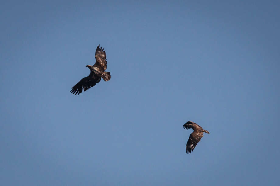 Two immature bald eagles fly over the 5,650 acres of Cook's Branch Conservancy in Montgomery County north of Houston, Wednesday, Nov. 14, 2012, in Montgomery. Photo: Michael Paulsen, Houston Chronicle / © 2012 Houston Chronicle