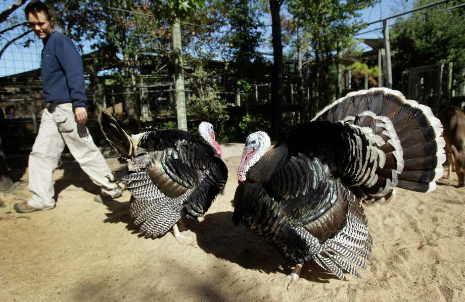 Under the watchful eyes of keeper Callian Sheppard, bronze turkeys Benjamin, left, and Franklin enjoy days of turkey bliss at the John P. McGovern Children's Zoo, enjoying recorded nature sounds and a tasty diet. One thing they don't have, though, is a love life. Photo: Melissa Phillip, Staff / © 2012 Houston Chronicle